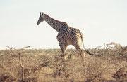 Die Giraffe (hier ein riesiger Massai-Giraffenbulle) ist das Nationaltier Tansanias. Solche Tiere werden etwa 4,5 Meter hoch und wiegen über 1000 Kilo. (Bild gemacht auf dem Weg von der Olduvai-Schlucht zum Serengeti NP).
