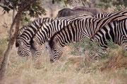 Im Gebüsch versteckt, nicht weit von der Strasse, beobachtete auch eine Löwin aufmerksam die Zebra- und Gnuherden, vermutlich auf der Suche nach ihrer Abendmahlzeit. Sie war so gut getarnt, dass sie zu fotografieren, ein Ding der Unmöglichkeit war.