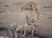 """Eine Gruppe Burchells Zebras (Equus quagga burchellii) und eine vergleichsweise riesige Südafrikanische Giraffe (Giraffa cameleopardis giraffa) löschen ihren Durst an der Wasserstelle """"Chudob"""" (Im Etosha NP hat jede Wasserstelle einen Namen)."""