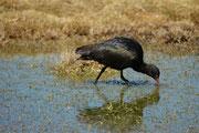 Auch der Schmalschnabelsichler oder Puna Ibis (Plegadis ridgwayi), hier im Bofedal de Parinacota, kommt in Höhen von 3100 bis 4800 m vor.