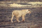 Bei so vielen Huftieren auf engem Raum, erstaunt es nicht, dass die Raubtierdichte im Park die höchste Afrikas ist. Noch 52 Löwen leben dort, aber es könnten doppelt so viele sein. Man versucht deshalb Verbindungskorridore zum Serengeti NP zu schaffen.