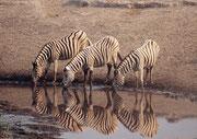 Vier weitere Burchells Zebras. Zebras wirken an den Wasserstellen oftmals recht nervös, besonders bei der Wasserstelle Chudob, wo sich mitten im Wasser eine kleine mit Schilf bewachsene Insel befindet, auf der sich ein Leopard oder Löwe verstecken könnte.