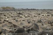 Der Galapagosalbatros (Phoebastria irrorata) ist die einzige Art aus der Familie der Albatrosse, die in den Tropen vorkommt. Er brütet ausschliesslich auf der Insel Espanola in einer Vulkanlandschaft mit Felsblöcken und spärlicher Vegetation.