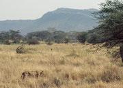 Immer wieder entdeckt man, von der Strasse her, Löwen im hohen Gras (Serengeti NP).
