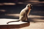 Beim Picknick-Platz warteten bereits Grüne Meerkatzen (Cercopithecus aethiops ?), die dreist und mit aller List versuchten, unsere Sandwich-Brote und Bananen zu klauen. Man findet diese Affen übrigens nie weit von Flüssen oder anderen Wasserstellen.