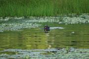 Und plötzlich erschien derjenige lautlos neben unserem Boot, auf den wir heimlich gehofft hatten: Der 2m lange und über 20 kg schwere Riesenotter (Pteronura brasiliensis). Weltweit soll es in ganz Südamerika noch etwa 5000 Tiere geben (im Manu NP etwa 200