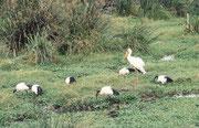 Ein Nimmersatt (Mycteria ibis) zusammen mit ein paar Heiligen Ibissen (Threskiornis aethiopicus).