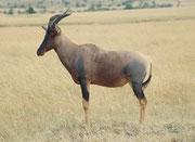 Ein weiteres wunderbar gefärbtes Topi Männchen (Damaliscus korrigum). Männliche Tiere sieht man oft so bockstill mit den Vorderbeinen auf einer kleinen Erhöhung in der Landschaft stehen. Es handelt sich dabei um eine optische Territoriumsmarkierung.