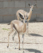 Spekes Gazelle (Gazella spekei) im Al Wabra Wildlife Preservation Center