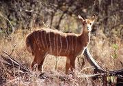 Unseren ersten Kontakt mit der afrikanischen Fauna stellten wir im Mokopane Game Breeding Centre, nördlich von Potgietersrus her. Es umfasst 1300 ha und enthält diverse Vertreter der afrikanischen Tierwelt, wie die Nyala-Antilope (Tragelaphus angasii).