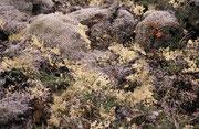In Island gibt es kaume Wälder und  Büsche. Deshalb lohnt es sich, den Blick immer wieder auf die bodenbedeckende Flora (Moose, Flechten, Algen, kleine Blumen) zu werfen. Es lassen sich so einzigartige, spektakuläre Kleinlandschaften und Biotope entdecken