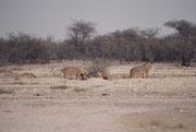 Noch einen Tag später sahen wir - aufmerksam beobachtet von mehreren Schabrackenschakalen - bloss noch wenige jüngere Löwenmännchen am Riss, von dem nicht mehr viel übrig geblieben war.
