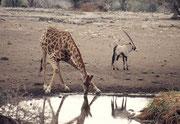 Um eine Giraffe trinken zu sehen, braucht es sehr viel Geduld. Die Tiere treten langsam aus der Deckung, und nähern sich dann sorgfältig und zögerlich der Wasserstelle an. Das kann bis zu einer halben Stunde dauern. Hinten ein Spiesssbock (Oryx gazella).