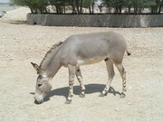 Somali Wildesel (Equus africanus somalicus) im Al Wabra Wildlife Preservation Center