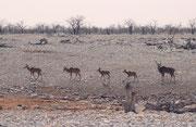 I. d. R. leben die Grossen Kudu-Bullen (Tragelaphus strepsiceros) allein oder in kleinen Junggesellenherden. Während der Brunst gesellen sie sich jedoch zu den Weibchen. Wir haben zu dieser Jahreszeit immer wieder solche kleinen Familienverbände gesehen.