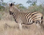 An diesem prächtigen Burchell's-Zebra Hengst sieht man die breiten schwarzen und weissen Streifen mit den braunen Zwischenstreifen deutlich. Man ist immer wieder beeindruckt, wie rasch die Tiere dank ihres Streifenmusters mit dem Buschwerk verschmelzen.