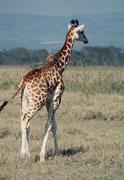 Im Jahre 1977 hat man begonnen, die seltene und unerhört prächtige Unterart der Rothschildgiraffe auf Westkenia (Giraffa camelopardis rothschildi) mit dem dunkeln Braun und den fast weissen Beinen auch im Nakuru NP anzusiedeln.
