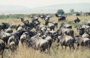 Unbeirrt marschieren die Gnus (Connochaetes taurinus) nach Norden, machen eine grosse Schlaufe und kehren später im Jahr wieder in die Serengeti zurück. Sie lassen sich von unserem Safaribus in keiner Weise stören. Er wird einfach umgangen.