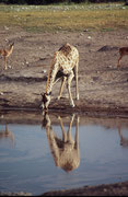 Giraffen brauchen lange, bis sie sich endlich entschliessen zu trinken, weil sie in diesem Moment sehr wehrlos sind. Sie können sogar ohne zu Trinken ein Wasserloch wieder verlassen ! Im Bild eine Südafrikanische Giraffe (Giraffa camelopardalis giraffa)