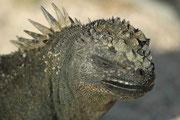 Die Meerechsen und der Galapagos-Landleguan (Conolophus subcristatus) sollen von einem gemeinsamen Leguan-Vorfahren abstammen, der auf Baumstämmen von Südamerika zu den Inseln getrieben wurde. Beide Linien trennten sich vor etwa 4,5 Mio. Jahren.