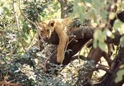 Offenbar lernen die Jungen dieses aussergewöhnliche Verhalten von den Erwachsenen. Jedenfalls lagen auch alle Jungen irgendwo in den unteren Bereichen der Bäume. (Lake Manyara NP)