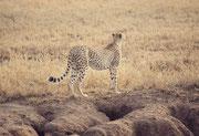 Wenn so viele kleinere Huftierarten nach wie vor den Park bevölkern, muss der Gepard (Acynonyx jubatus) keinen Hunger leiden .(Serengeti NP)