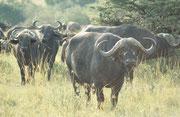 """Auf unserem morgendlichen """"game drive"""" werden wir von einer Herde Kaffernbüffel aufmerksam gemustert"""