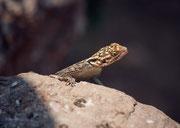 Hie und da beobachtete uns zwischen den Felsbrocken in Twyfelfontein auch aufmerksam eine Echse. Hier eine Siedleragame (Agama agama), entweder ein Weibchen oder ein rangniederes Männchen.
