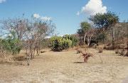 """Der Garten in der Umgebung """"unseres Hauses"""" im Camp """"Berg-en-Dal"""". Rechts befinden sich einige Aloe-Pflanzen (ausdauernde, blattsukkulente Pflanzen) und im mittleren Hintergrund Euphorbien."""