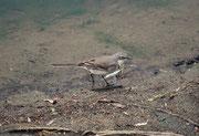 Neben diversen Webervogelarten, die ihre kunstvoll geflochtenen Nester an Zweige unmittelbar über der Wasserfläche bauten, wo sie gut geschützt sind, sahen wir auch diese Kapstelze (Motacilla capensis).