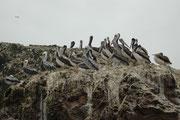 Eine Gruppe von Braunpelikanen unterschiedlichen Alters. Der Braunpelikan ist die einzige Pelikan Art, welche ganzjährig und ausschliesslich am Meer lebt.