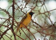Auch der Maskenweber (Ploceus velatus) besuchte uns am Sossusvlei-Zeltplatz. Er ist der häufigste Webervogel in den Trockengebieten im westlichen und inneren Südafrika. Er ist ein Koloniebrüter (Männchen haben in der Regel mehrere weibliche Partner).