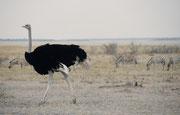Ein schöner Straussenhahn (Struthio camelus) am Rande der ausgetrockneten Salzpfanne des Etosha NP. Strausse sind sehr widerstandsfähige Vögel. Oft haben wir sie als kleine Punkte weit draussen auf der riesigen, heissen Salzpfanne marschieren gesehen.