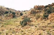 Da ausser dem Erdwolf, dem Schabrackenschakal und dem Karakal keine Raubtiere vorkommen (sollen...) eignet sich das Kgaswane Mountain Reserve für Tageswanderungen durch die felsige Hügellandschaft, wo wir auch Klippschliefer (Procavia capensis) entdeckten