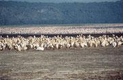 1960 wurde ein kleiner Fisch (Tilapia grahami) im Lake Nakuru ausgesetzt, der sich dort gut entwickelt hat. Deshalb gibt es heute neben den Flamingos aus noch andere fischfressende Vogelarten, wie z.B. Rosapelikane (Pelecanus onocrotalus) in grosser Zahl.