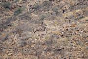 Eine Junggesellen-Gruppe des Grossen Kudu (Tragelaphus strepsiceros), die hier erstaunlich behende über den felsigen Berghang nach oben klettert. Kudus sind in der Tat erstaunlich berggängig.