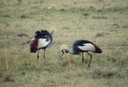 Ein Südafrika-Kronenkranichpaar (Baleara regulorum)