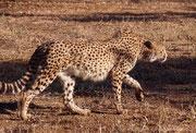 Auch diesen Gepard (Acinonyx jubatus) haben wir in einem Gehege gesehen. Damals ahnten wir noch nicht, dass wir, auf unseren späteren Reisen, diese faszinierende Katze auch in freiem Gelände und sogar bei der Jagd würden beobachten können.