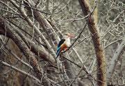 Mit seiner Länge von 22 cm ist der Graukopfliest (Halcyon leucocephala) ein ganz respektabler Vertreter der Familie der Eisvögel (Lake Manyara NP).