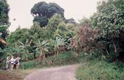 Kleinere Plantage mit Mango-, Kakao-und Muskatnussbäumen