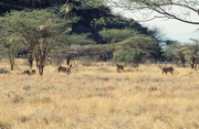Dieses wunderbare, grosse Löwenrudel fand unser Fahrer und Führer, indem er sich von Geiern leiten liess, welche über dem Kadaver des Tieres kreisten, das die Löwen in der vorangegangenen Nach geschlagen hatten (Samburu)