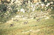 Im Kgaswane Mountain Reservat sahen wir sogar kletternde Ellipsenwasserböcke. Hier eine Gruppe junger Männchen (ältere Männchen leben eher einzelgängerisch, verteidigen ein Revier gegen Artgenossen und beanspruchen jedes durchziehende Weibchen für sich).