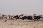 Es ist unglaublich, wie viele Tiere sich bei der Wasserstelle Andoni trafen. Hier sind es Südafrikanische Oryx (Oryx gazella), Streifengnus (Connochaetus taurinus), Springböcke (Antidorcas marsupialis) und Paradieskraniche (Antropoides paradiseus).