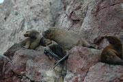 Und dann gibt es noch einen spektakulären Bewohner der Islas Ballestas: Die Mähnenrobbe (Otaria flavescens oder Otaria byronia), auch Südamerikanischer Seelöwe genannt. (Männchen werden ca. 2,50 m gross und ca. 300 kg schwer, Weibchen ca. 2 m und 140 kg).