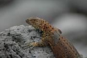 Total gibt es 20 Microlophus-Arten, davon sind 6 auf Galapagos endemisch. Ihre Färbung variiert nicht nur von Insel zu Insel, sondern selbst innerhalb der Insel. Männchen sind zudem anders gefärbt als Weibchen und dann können sie auch die Farbe wechseln.