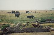 Elefanten, Gnus und Kaffernbüffel in Sumpflandschaft (Amboseli)
