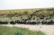 Eine der gefährlichsten Phasen auf der Wanderung stellt die Überquerung des Flusses Mara dar. Es hat dort Krokodile, welche nur auf die Gnus warten, um einzelne zu töten und zu fressen. Die ersten Tiere der Herde kommen denn auch sehr vorsichtig zum Fluss