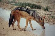 Der wunderschöne Schabrackenschakal (Canis mesomelas) litt bei diesem Überfluss an Wasser sicher keinen Durst. Ganz anders als im sudafrikanischen Winter, der Trockenzeit, wo sich alles um die relativ wenigen Wasserstellen drängt.