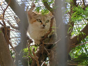 Arabische Sandkatze (Felis margarita harissoni) im Al Wabra Wildlife Preservation Center