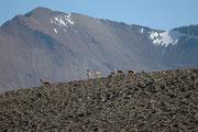 Vicunjas leben, wie Guanakos, in von einem Männchen geführten, territorialen Familienverbänden,. Allerdings liegt ihr Lebensraum wesentlich höher, im Bereich von 3500 bis 5500 m. Ihr dichtes überaus feines Fell wirkt hier wie eine Isolierschicht.
